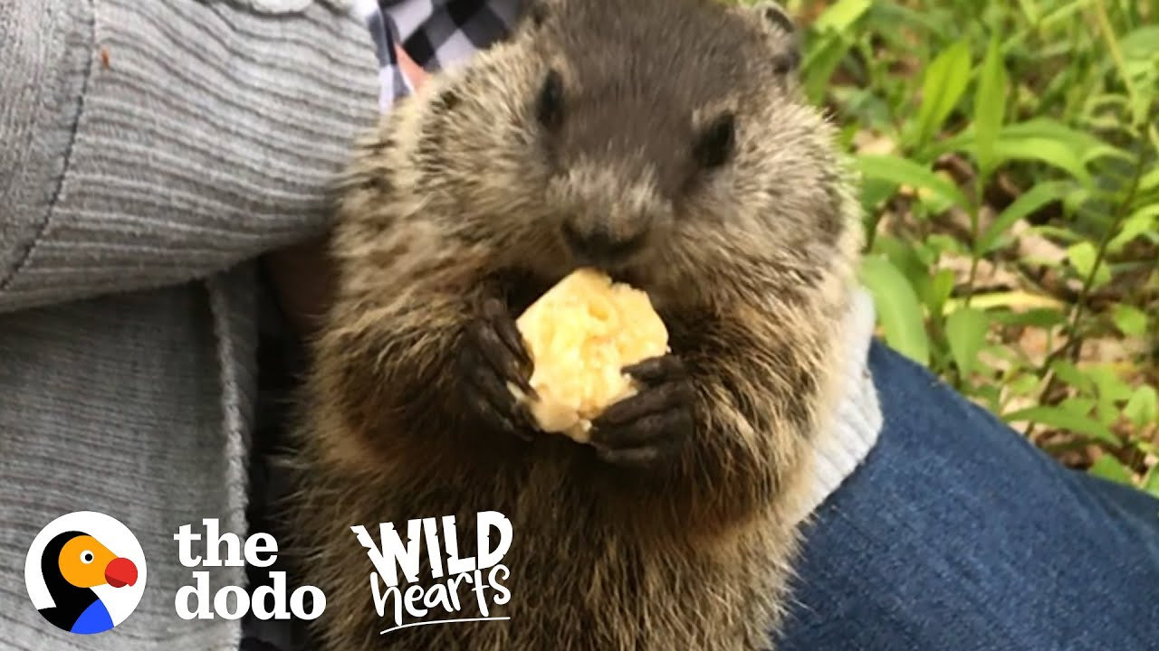 Wild Groundhog Won't Let Woman Go Home Without Her | The Dodo Wild Hearts