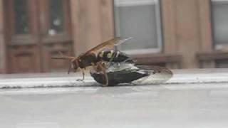 Wasp vs Cicada