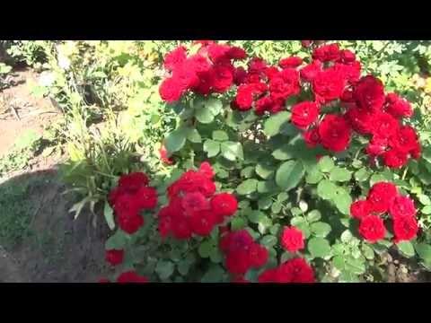 Бордюрные розы. Fillets rose.