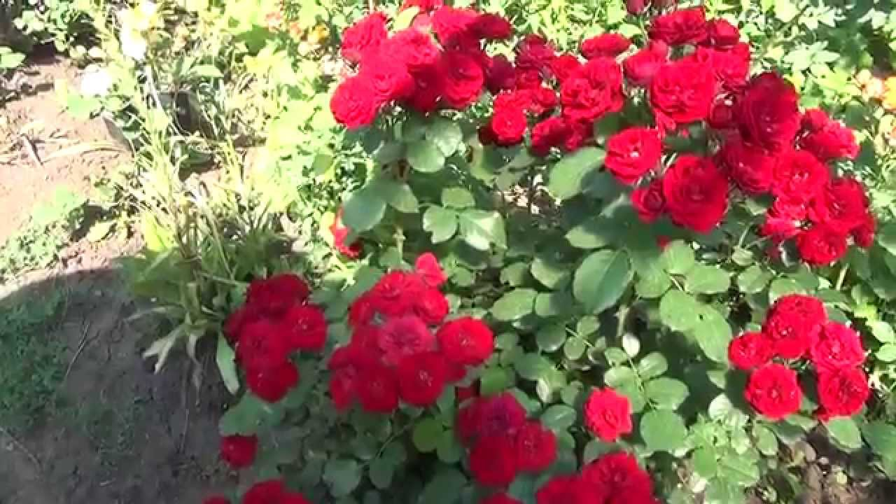 Розы почвопокровные посадка и уход 84