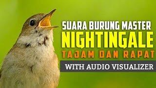 Suara Burung Sikatan Londo - Masteran Suara Tajam dan Rapat