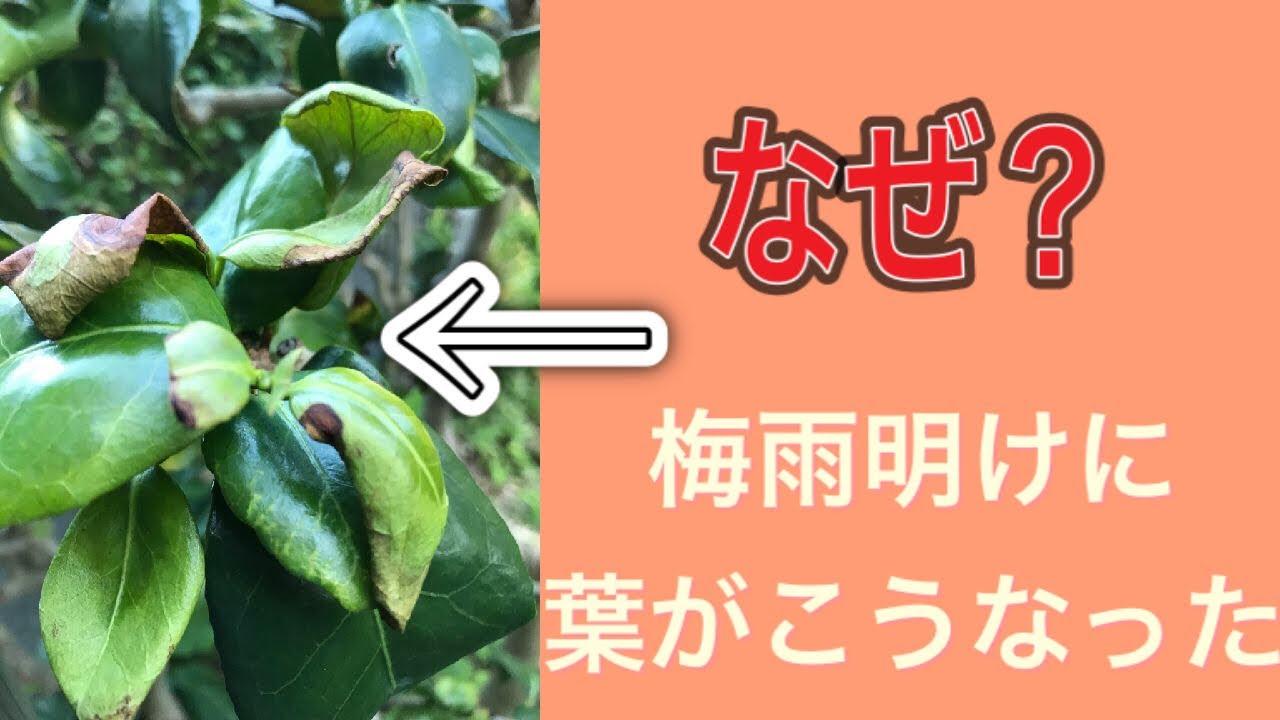 ツバキの葉が突然チリチリになった怪現象。病気?害虫のせい?(字幕対応)