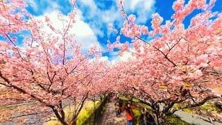 金麦『360度の桜に包まれる、金麦特等席 ~沖縄・今帰仁城跡&静岡・河津桜ダイジェスト篇~』 1分37秒 サントリー
