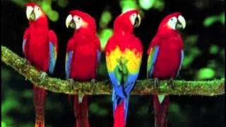 Burung kakak tua lagu daerah
