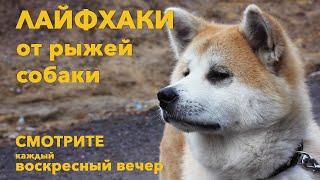 Лайфхаки для жизни от рыжей собаки #13