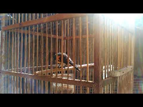 Burung mantenan jantan