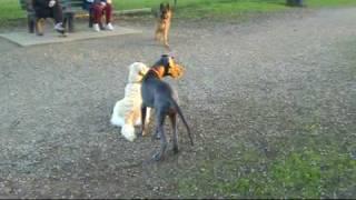 Jäger - Our 4 Month Old Blue Great Dane Puppy