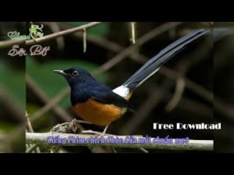 Tiếng chim bồ chao, chích chòe than chuẩn mp3 download fshare.