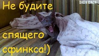 Донской Сфинкс приколы от Жорика! НЕ будите спящего сфинкса! [#Донской Сфинкс]