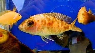 Футаж Аквариумные Рыбки. Псевдотрофеус Зебра Мармеладная. Аквариумные Рыбки. Футажи для видеомонтажа
