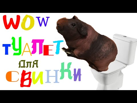 Вопрос: Как приучить морских свинок к туалету?