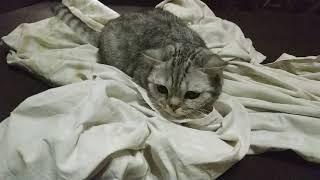 Скоттиш страйт или британская короткошерстная кошка. Игра с кошкой)