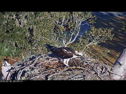 Osprey Brings Stick To Savannah Nest – Feb 6, 2018