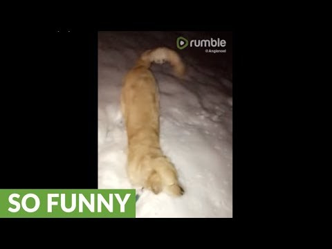 Golden Retriever ecstatic to play in the snow