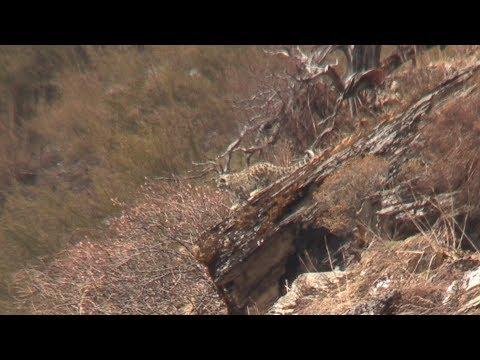 Nepal 4k Blue Sheep Himalayan Tahr Snow Leopard