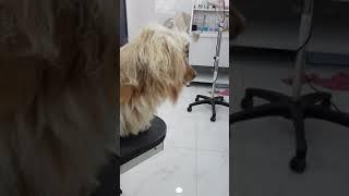 여름을 대비한 장모닥스훈트 강아지의 털 관리part1