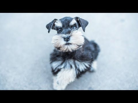 Miniature Schnauzer is ADORABLE! Charlie in Training