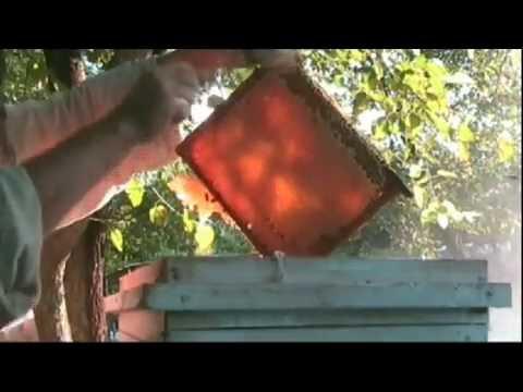 Відбір печатного меду з вулика на українську рамку з двома надставками.  Selection of honey