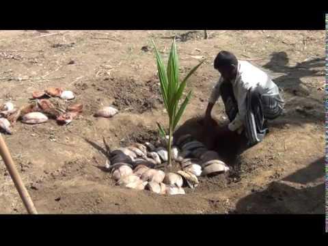 Coconut Planting Sri Lanka