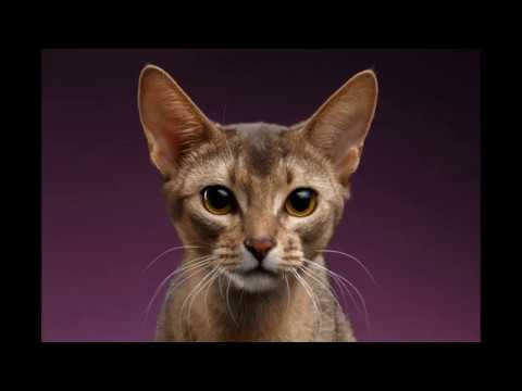 Abyssinian cat Interesting Fact