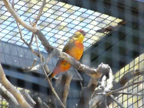 Orangebreast / Goldbreasted Waxbill Singing