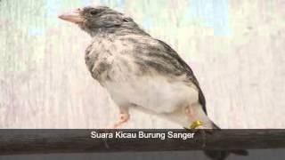 Kicau Burung Sanger Cocok Buat Masteran Burung Kicau Mania