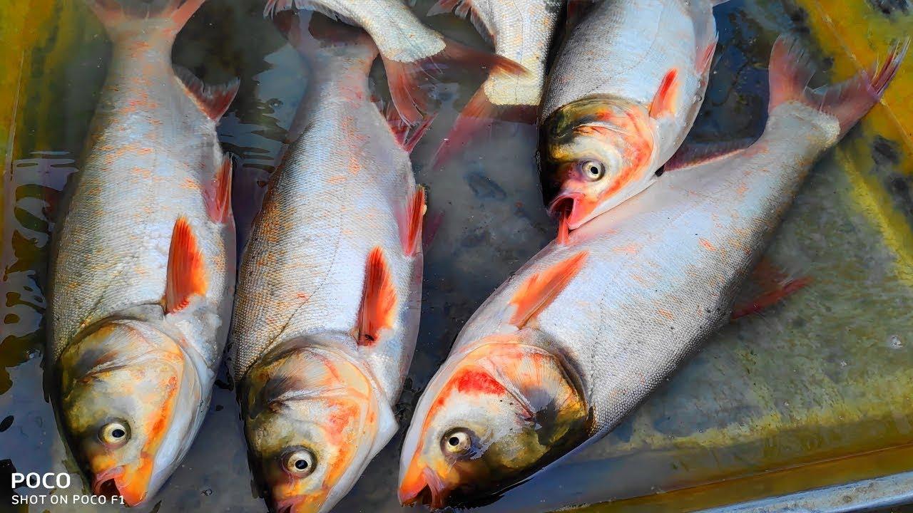 Asian silver carp video 1