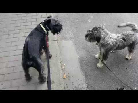Standard Schnauzer, Jazz, meeting a new tail-wiggling friend