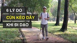 Sai lầm khi dắt cún đi dạo - cún luôn kéo dây | Huấn luyện chó cơ bản BoṡṡDog (Dog baṡic training)