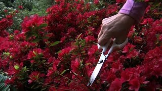Planters Place: Pruning Rhododendrons