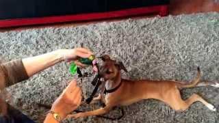 Psych Service Dog Training Blog: Part 16. Collar/harness/vest Training. Feb 8 2015