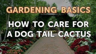 How to Care for a Dog Tail Cactus