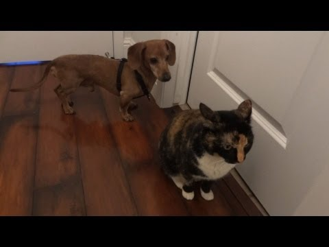 Wiener dog desperately wants to be friends with kitty cat