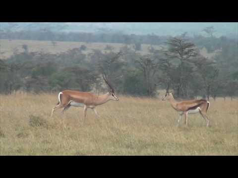 Grant's gazelles defend a fawn from hunting black-backed jackals