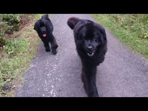 newfoundland-dogs-on-a-free-walk