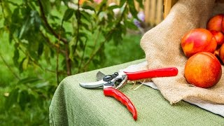 Summer Fruit Tree Pruning Tips
