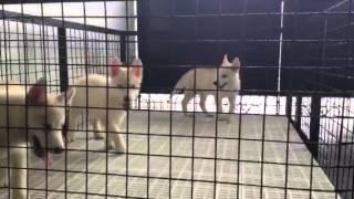 For Sale: Siberian Husky Pupps
