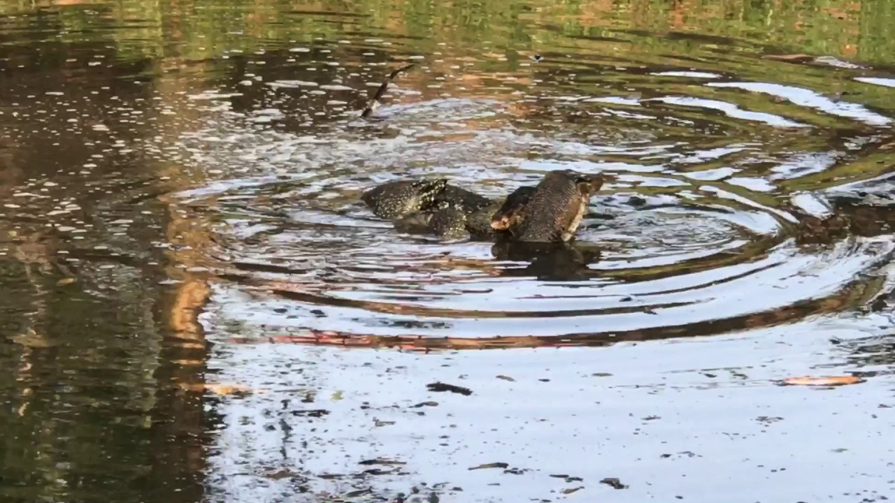 Two Huge Water Monitor Lizards Mating in the Backyard ...