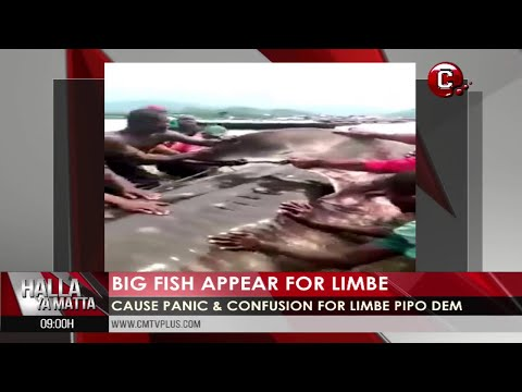 The Biggest Fish in The Atlantic Ocean Caught in Limbe Cameroon | More News