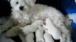 Gucci Nursing Her 1 Week Old Maltese Bichon Puppies