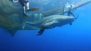 Riesiger Walhai aus Fischernetz gerettet