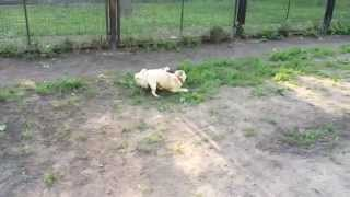Мопсы Рада и Юна бегают как кролики // Pugs are running like a rabbit funny pugs run
