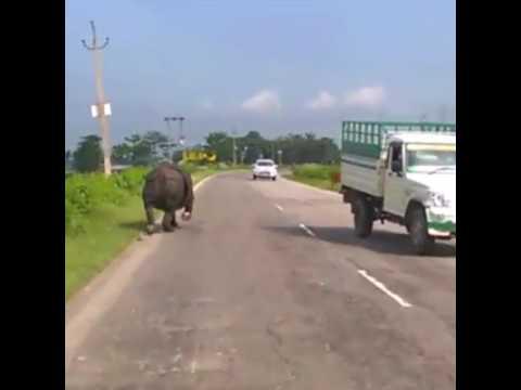 Kaziranga assam# Rhino Run on the Road see what happens next