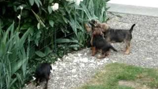 Border Terrier Welpen Spielen Im Garten