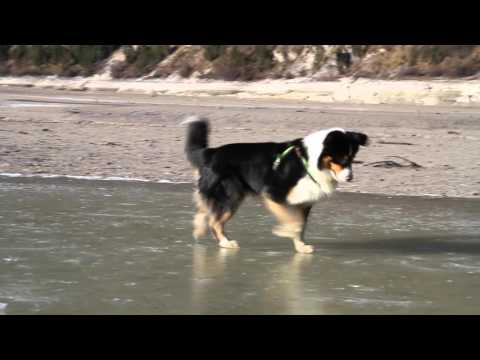 Funny Video Australian Shepherd dog hunting fish on the rocks - awesome dogfishing