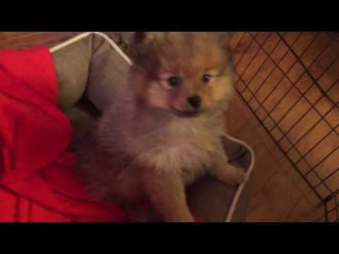 Pomeranian dog puppies Rain and Storm 8 weeks old