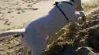 English Bull Terrier at the Beach