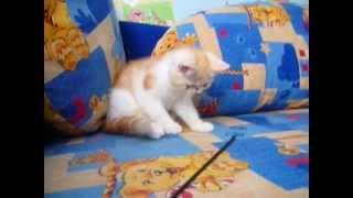 Купить котенка экзота Киев
