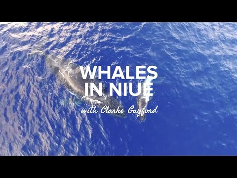 Whales in Niue with Clarke Gayford