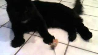 Polydactyl Cat Loves His Neko Flies Cat Wand Toy - ラグドール - Floppycats